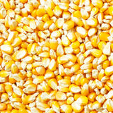 Corn grains as background Stock Images