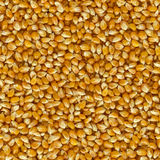 Corn Grains of  Close Up Background. Stock Photo