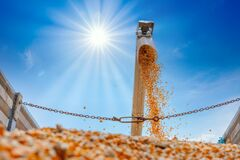 Free Corn Grains Falling From Combine Harvesting In The Truck Royalty Free Stock Photography - 198911447