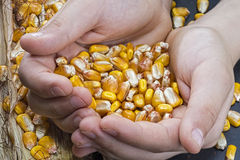 Corn Grains in Hands on Rustic Background. Good Harvest. Royalty Free Stock Photo