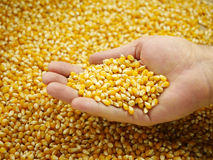 Corn grains in the palm Royalty Free Stock Image