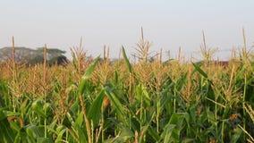 Corn field. Corn in a green field,dolly shot stock footage