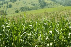 Corn green fields landscape outdoors Royalty Free Stock Images