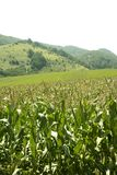 Corn green fields landscape outdoors stock photos