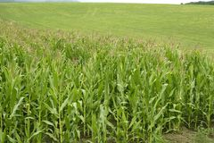 Corn green fields landscape outdoors Royalty Free Stock Photography