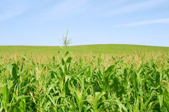 Corn green fild and blue sky. Bright corn green fild and blue sky Stock Image