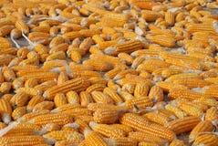 Corn on the Ground  Stock Photos