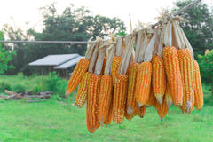 Corn group on natural background Stock Photo
