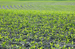 Corn growing. Corn plants growing in Iowa Stock Image