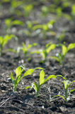 Corn growing. Corn plants growing in Iowa royalty free stock photos