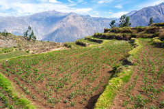 Corn Growing in Colca Canyon Stock Image