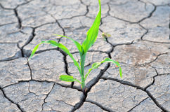 Corn growing on the dry agricultural land. Corn growing on the agricultural field during summer drought Royalty Free Stock Images