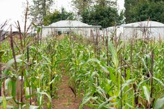 Corn growing on the farm royalty free stock image