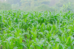 The corn growing in the farm Royalty Free Stock Images