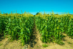 A corn growing on a farm Royalty Free Stock Image