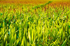 Corn Growing Field Royalty Free Stock Image