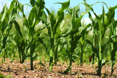Corn growing in field Stock Photography