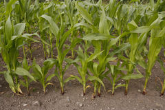 Corn growing in field Stock Photos
