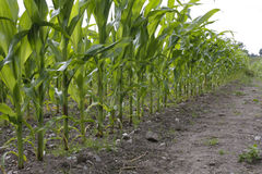 Corn growing in field Royalty Free Stock Photo