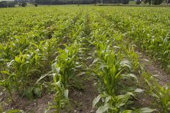 Corn growing in field Royalty Free Stock Image