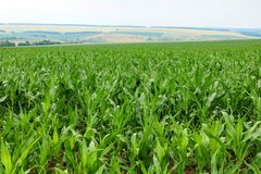 Corn is growing in a field in the farm Royalty Free Stock Images