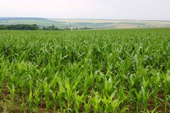 Corn is growing in a field in the farm Royalty Free Stock Photo