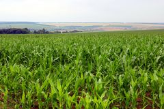 Corn is growing in a field in the farm Stock Image
