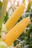 Corn growing in field plant agriculture farm ready for harvest. Stock Photography