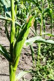 Maize plant. Corn growing in a field in summer Stock Images