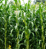Corn growing Royalty Free Stock Photo