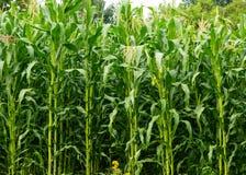 Corn growing Stock Photos