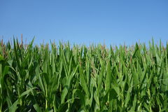 Corn growing in the prairies Royalty Free Stock Image