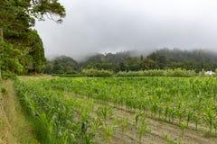 Corn Growing in Sao Miguel. Corn field in Sao Miguel island royalty free stock image