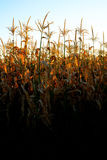 Corn Growing Stalks Cob Kernels Ready for Harvest Stock Photography
