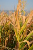Corn. Grown in the field in Thailand Stock Image