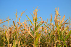 Corn. Grown in the field in Thailand Royalty Free Stock Photo