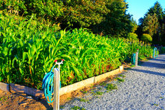 Corn grows in the small garden. Sunset Royalty Free Stock Photos