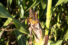 Corn. Royalty Free Stock Photo