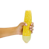 Corn in hand. Isolated on a white background Royalty Free Stock Photo