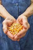 Corn in hands Royalty Free Stock Images