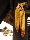 Corn hanging on the barn Royalty Free Stock Images