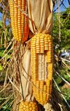 Corn hanging Stock Image