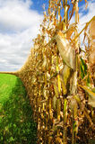 Corn Before Harvest. Rows of corn await harvest under September skies in Southern Wisconsin Royalty Free Stock Photos