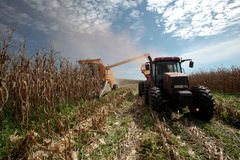 Corn harvest royalty free stock photos