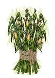 Corn harvest. Detailed illustration of ripe stems for designs Stock Image