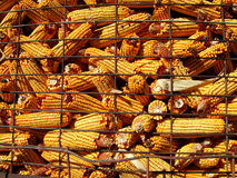 Corn Harvest. A close view of picked and dry whole ear corn in a farm bin, waiting to be used as feed, in Madison County, Iowa royalty free stock photo