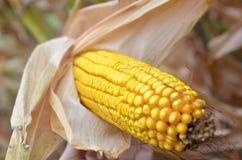Corn harvest. Autumn harvest of ripe yellow corn Stock Image