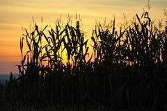 Corn harvest. Autumn harvest of ripe yellow corn Stock Images