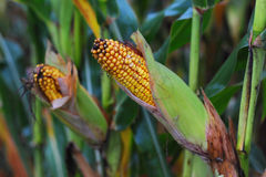 Corn harvest. Autumn harvest of ripe yellow corn Royalty Free Stock Photo