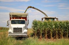 Corn Harvest. Corn is being harvested by forage harvester and collecting truck Stock Images